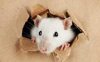 Бегают мыши по натяжному потолку: что делать?
